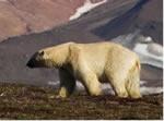 Polar bearear